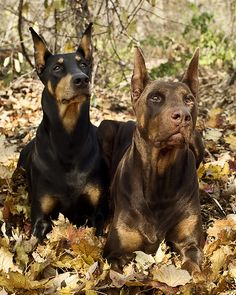 Doberman dogs: the best of the best!! I miss the ones we used to have  love u drago and gypsy