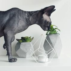 Stop and smell the.. green stuff. | Odessa the solid black sphynx cat.