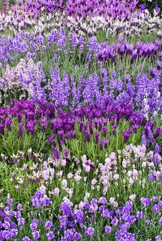 ^Lavandula, mix of types of lavender herbs