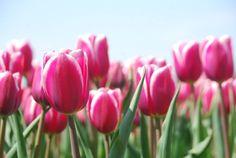 Er op uit tip: Tulpenroute. Lees er hier meer over