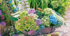 Schon am Strauch sind die kugel- und tellerförmigen Blüten der Hortensien ein Traum. Äußerst attraktiv zeigen sie sich auch als Deko mit ländlichem Charme. Hier sind ein paar schöne Deko-Ideen zum Nachmachen.