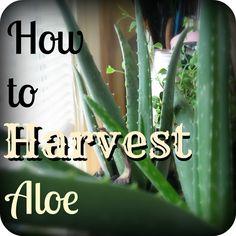 How to Harvest Aloe