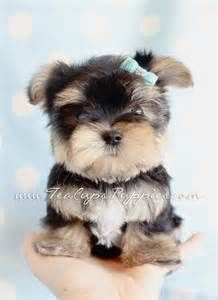 Morkie Puppies For Sale at TeaCups Puppies South Florida