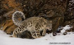 Snow leopard (photograph by Charles Glatzer)