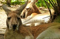 Kangaroos at Taronga Zoo