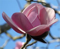 Magnolias from the San Francisco Botanical Gardens for Macro Monday