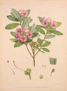 """Joseph Dalton Hooker, M.D. From """"The Rhododendrons of Sikkim-Himalaya; being an Account, Botanical and Geographical of the Rhododendrons recently discovered in the Mountains of Eastern Himalaya, from Drawings and Descriptions made on the Spot, during a Government Botanical Mission to that Country."""" Edited by Sir W.J. Hooker, Vice President of the Linnean Society and Director of the Royal Gardens of Kew. London: Reeve and Co., 1849-51."""