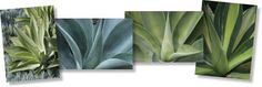 Foxtail Agave (Agave Attenuata) [Foxtail/ Lion's Tail/ Swan Neck)