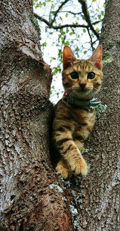 Reginald Flamethrower my half Bengal kitten being elegant in a tree. 10 June 18 - 4 Months