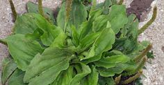 """This little weed pops up in gardens, on lawns and even in driveway cracks. Those bushy green leaves and small, stalk-like buds are part of the miraculous plantain. Plantain is one of the most medicinally powerful """"nuisance"""" plants. For hundreds of..."""