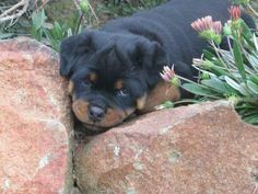 who you hiding from? Rottweiler Love, Rottweiler Puppies, Best Guard Dogs, Best Dogs, Family Dogs, Fur Babies, Rottweilers, Animals, Period
