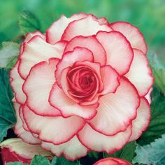 Detailed Description This was one of the first picotee begonias developed and hybridizers are still attempting to improve on it, without success. Lots of silvery white blooms each edged with a ribbon