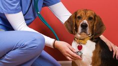 Like humans, nearly all animals will experience some form of health problem or medical emergency in their lifetimes. Veterinary specialists and vet administrative professionals are the people who help animals through these challenging moments.