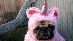 This pug, for having the best costume. Pugicorn!!! ❤️