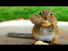 A Chipmunk stuffing his face with the peanuts! recorded by Mey Dey - YouTube