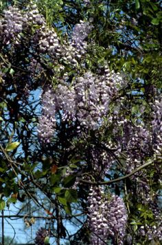 Wisteria flower plant - Tallahassee, Florida