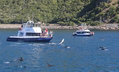 Swim With The Dolphins Kaikoura & Viewing Marine Life Dolphin Encounters, Marine Life, Dolphins, Mammals, New Zealand, Opportunity, How To Memorize Things, Environment, Swimming