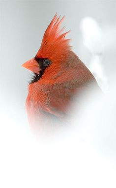˚Male Cardinal in Snow