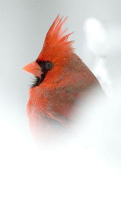 Cardinal Male Snow