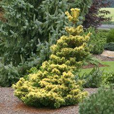Klehm's Song Sparrow Farm and Nursery--Woody Plants--Pinus parviflora 'Goldilocks'