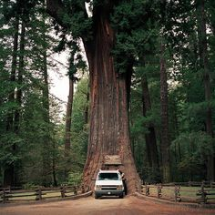 30 best chandelier tree images on pinterest chandelier tree the chandelier tree is a 315 foot tall coast redwood tree in leggett california aloadofball Choice Image