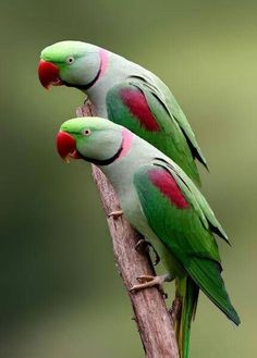 A pair of lovely Indian Ringneck Parrots! They have extra long tail feathers which make them appear tall and sleek.