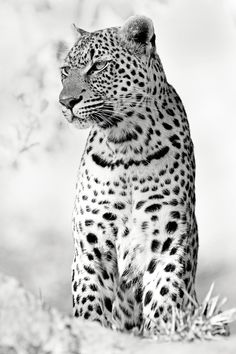 Contemplating a Meal - This leopard female was staring at a herd of Impala, trying to decide if a mid morning hunt was worth the effort.