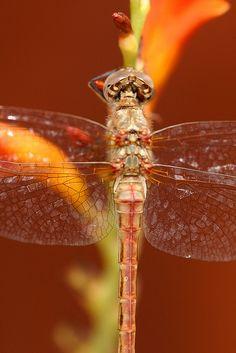 Dragon Fly Bernardo Y Bianca, Dragonfly Wings, Dragonfly Symbolism, Gossamer Wings, Cross Stitch Flowers, Animal Design, Macro Photography, Moth, Dragon Flies
