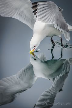 """""""The Seagull's Mirror."""" (Photograph ~ Titled: 'Mirror bird II.' By: Geir Magne Sætre on 500px.)"""