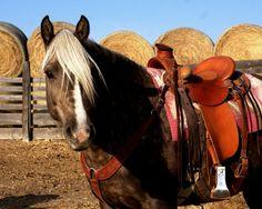 Ranch Farmgirl blog >> Shery's Morgan Horse mare, Ribbon. Cowgirl And Horse, Horse Love, Dark Horse, All The Pretty Horses, Beautiful Horses, Animals Beautiful, Ranch Life, Ranch Farm, Morgan Horse
