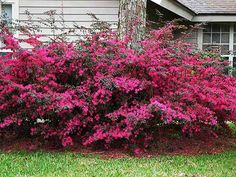 chinese fringe flower | chinese fringe flower loropetalum chinensis fire dance chinese fringe ...