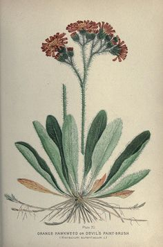 Orange Hawkweed or Devil's Paint-Brush. Plate 70. Farm weeds of Canada. Ottawa :Dept. of Agriculture,1923.