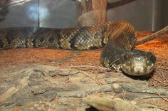 Cottonmouth Snakes swallow their prey head first. Snake Facts, Snakes, Lizards, Turtle, Swallow, Image, Nature, Turtles, Naturaleza