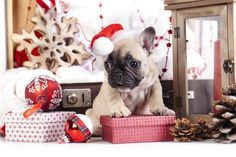 French Bulldog In Christmas