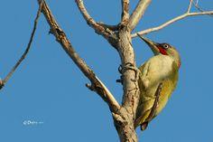 European Green Woodpecker