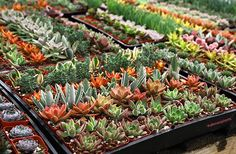 Altman Plants Succulent Online Succulents And Cacti