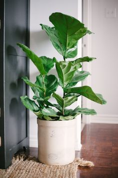 Easy To Grow Houseplants Clean the Air Fiddle Leaf Fig Want A Big-Impact Apartment Plant With Minimal-Impact On Your Time Expenditure To Keep It Thriving? Look No Further Than The Fiddle Leaf Fig, Which Can Grow Up To Tall In Indirect Light, With Twice Ficus, Plantas Indoor, Fiddle Leaf Fig Tree, Fiddle Fig, Style Me Pretty Living, Apartment Plants, Decoration Plante, Basket Decoration, Pot Plante