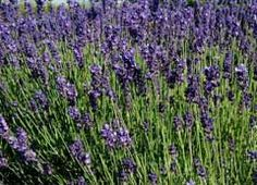 Lavandula Angustifolia - 'English Lavender' - Great for relaxation in tea form or diffused through its form as an essential oil. Great as an antideppressant; helps lull you to sleep.