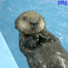 Two rescued baby sea otters find forever home at Georgia Aquarium GET READY FOR CUTENESS! A pair of sea otter pups who were rescued in California found a new home at the Georgia Aquarium. Cute Funny Animals, Cute Baby Animals, Cute Dogs, Georgia Aquarium, Nature Animals, Animals And Pets, Baby Sea Otters, Otter Pup, Otters Cute