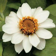Zinnia marylandica 'Zahara White' | From @Jonathan Park Seed