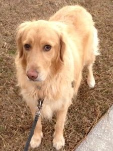 This is Bailey - 3 yrs. She is an owner surrender. She is on medication to control seizures. She gets along with other dogs and has not been cat tested. She is a friendly, playful girl looking for a forever home and is at Grateful Golden Retriever Rescue Low Country, SC.
