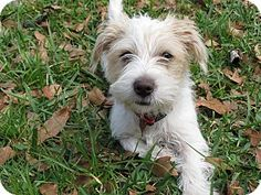 Middleburg, FL - Maltese/Jack Russell Terrier Mix. Meet Cass a Puppy for Adoption.