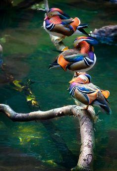 'Mandarin Ducks Chillin' by the pool' by Alan Shapiro on 500px