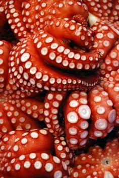 octopus Beautiful, but I still get the heebee jeebees just looking at it. Kraken Octopus, Kraken Art, Octopus Tentacles, Octopus Artwork, Underwater Creatures, Ocean Creatures, Patterns In Nature, Textures Patterns, Pics Art