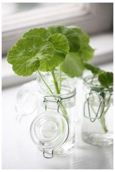 Ta sticklingar på dina pelargoner. Fina blickfång i små vaser och sen fina plantor. Smart.