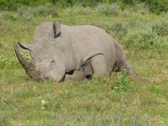 You could Adopt, name and protect this one too. It could be you as an individual , a group of friends , college, school , an organization , Saving ONE Rhino at a time. WWW.Poachedrhino.org