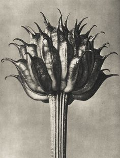 doorofperception.com-karl_blossfeldt-35.jpg (1200×1578)