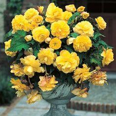Yellow Hanging Basket Begonia | Begonia | Large Healthy Tubers for Huge Blooms