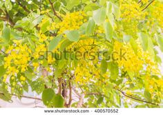 """Rachapruek"" , ""Kun"" ,""Golden flower"" or Cassia fistula. It is national flower of Thailand - stock photo"