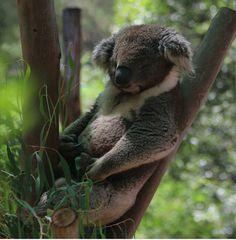 Life is hard for me Koala [706x721]